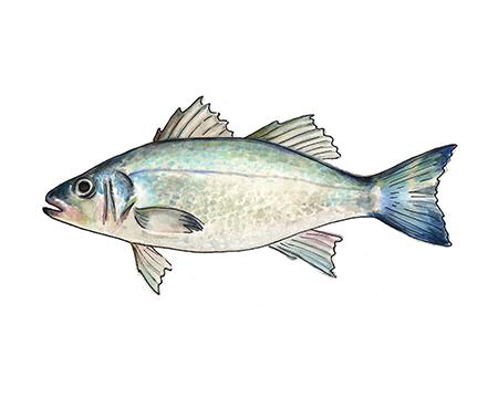 Chilean Sea Bass Art Print