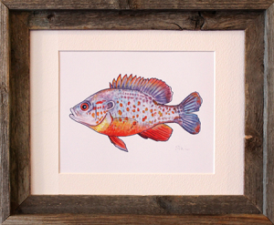 Orange Spotted Sunfish Framed