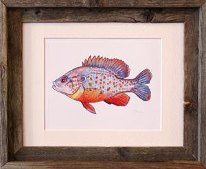 Orange Spotted Sunfish Framed