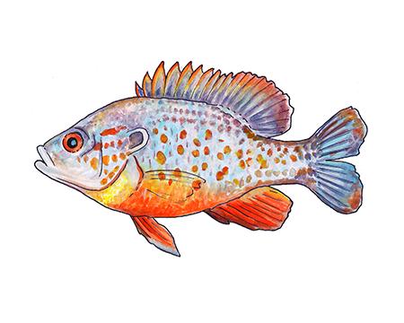 Orange Spotted Sunfish Art Print