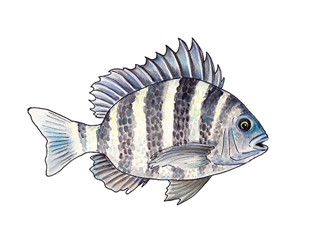 Sheepshead Art Print
