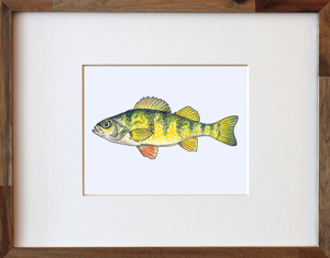 Yellow Perch Framed