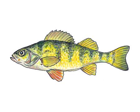 Yellow Perch Art Print
