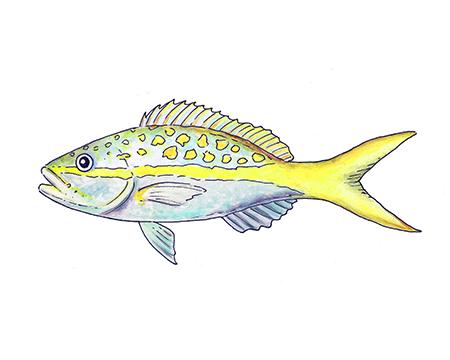 Yellowtail Snapper Art Print