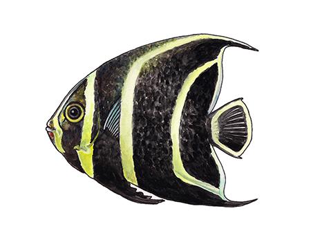 Angelfish