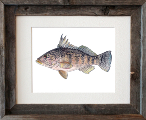 Black Sea Bass Framed
