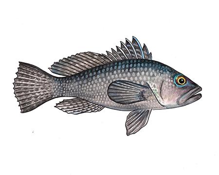 Black Sea Bass II