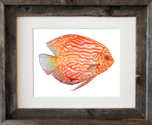 Discus Fish Framed