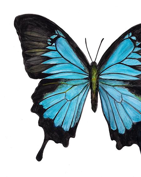 Papilio Ulysses Blue Swallowtail
