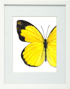 Small Grass Yellow Butterfly Framed