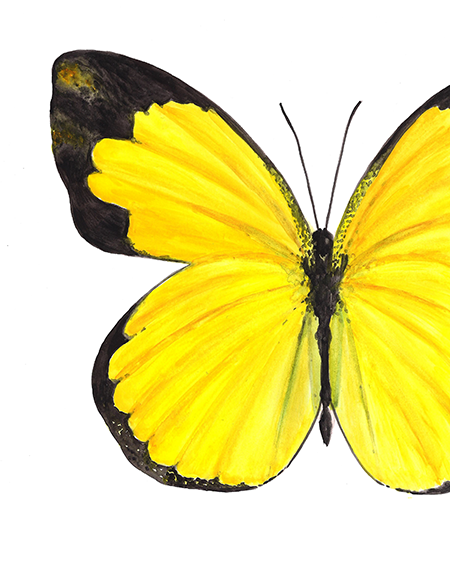 Small Grass Yellow Butterfly