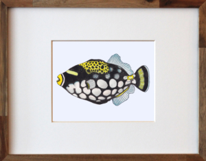 Trigger Fish Framed