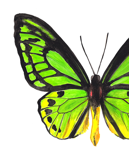Wallace's Golden Birdwing II