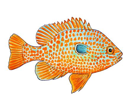 Missouri Longear Sunfish