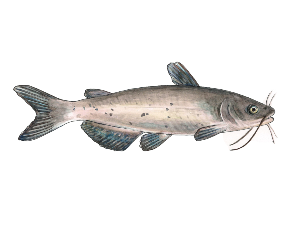 Channel Catfish