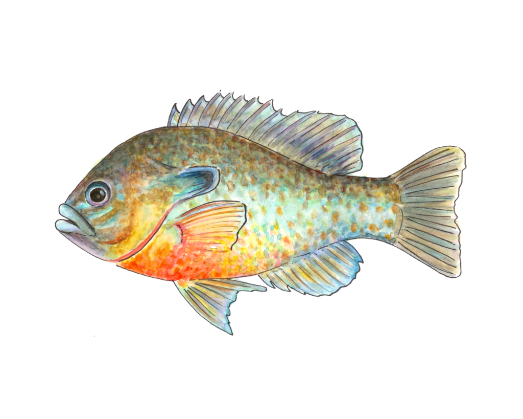 Redbreasted Sunfish