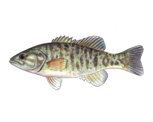 Shoal Bass