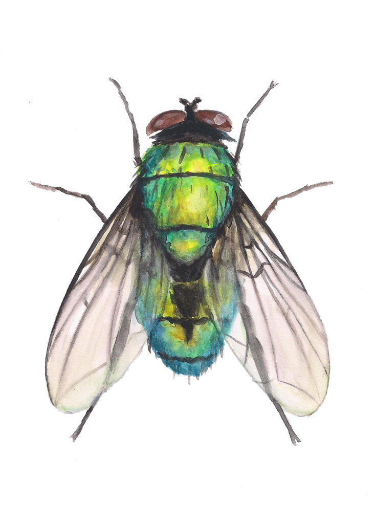 Bottle Fly